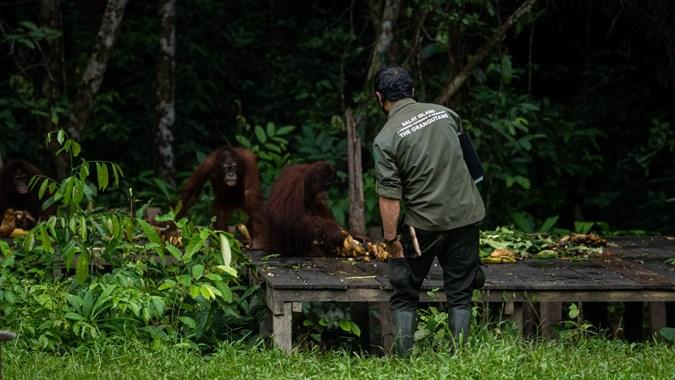 SSMS SSMS Ingin Tumbuh Berdampingan Dengan Orangutan